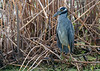 Yellow-crowned Night Heron (Adult)