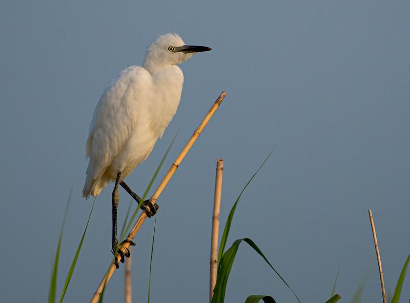 Cattle Egret (Immature)