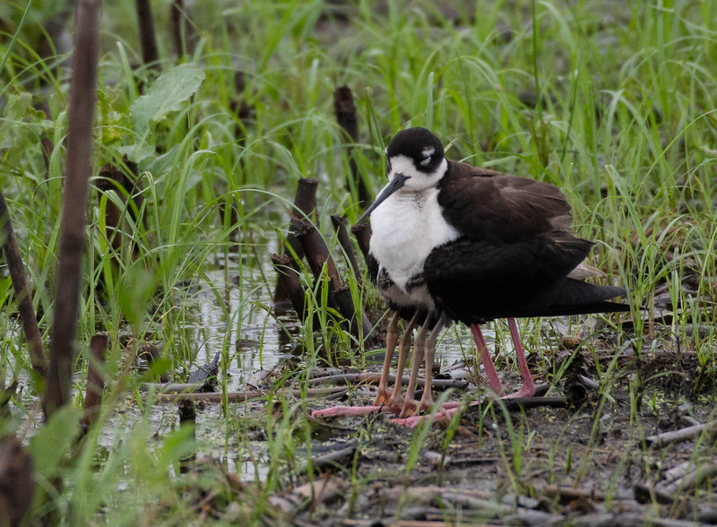 Black-necked Stilt covering its young