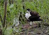Black-necked Stilt sheltering two juveniles