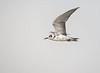 Black Tern (Non-breeding Plumage)