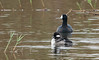 Bufflehead (Female) and American Coot