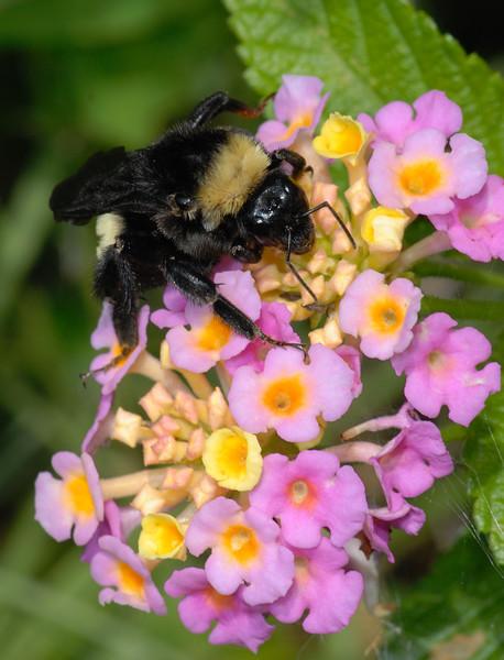 Bumble Bee on West Indian Lantana