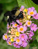Bumble Bee on West Indian Lantana