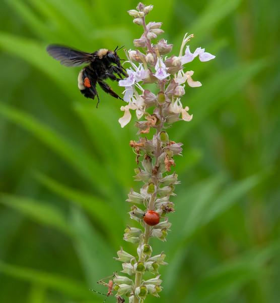 Bumble Bee, Lady Beetle and a Katydid nymph