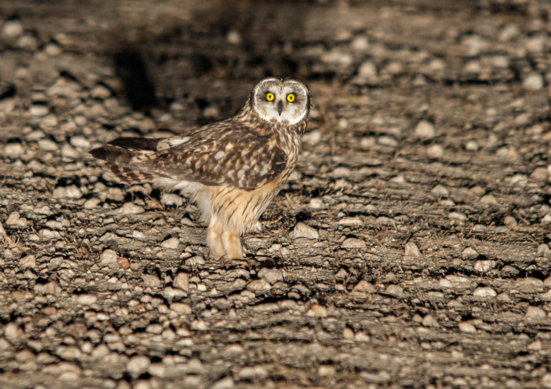 Short-earned Owl