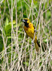 Orchard Oriole (Immature Male)