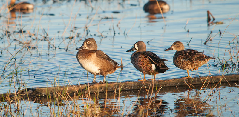 Ring-necked Duck and a pair of Blue-winged Teals