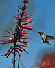 Ruby-throated Hummingbird feeding on a Coral Bean Plant