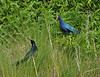 Purple Gallinule and Boat-tailed Grackle