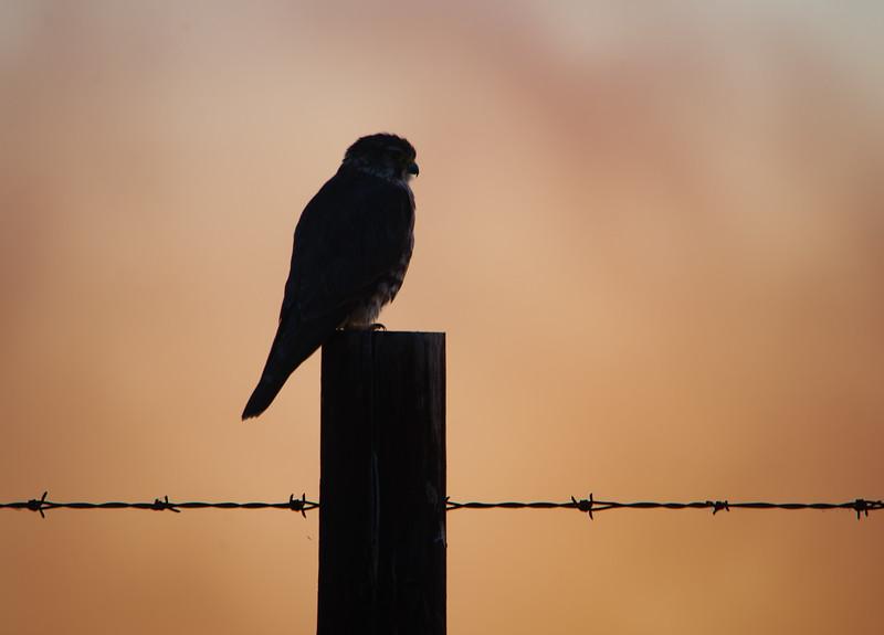 Merlin Before Sunrise