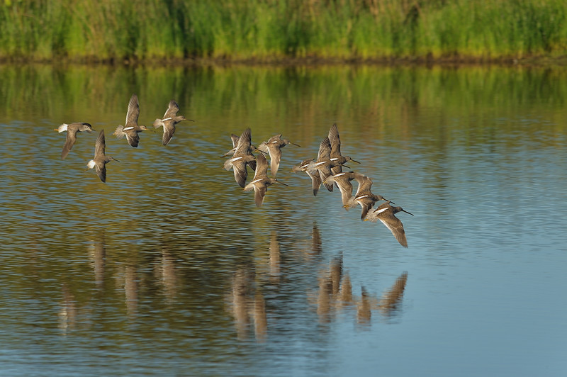 Stilt Sandpipers, Lesser Yellowlegs and Long-billed Dowitchers