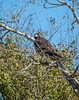 White-tailed Hawk (Immature)