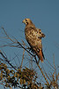 Red-tailed Hawk (Light Phase)