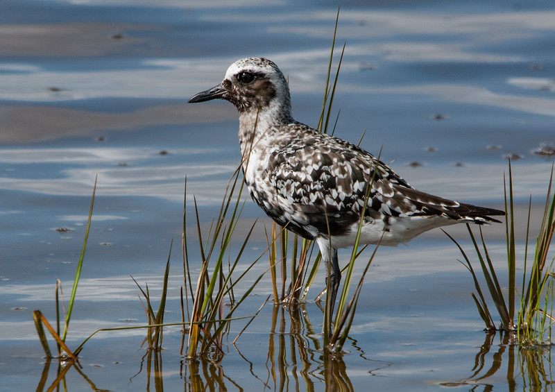 Black-bellied Plover (molting out of breeding plumage)