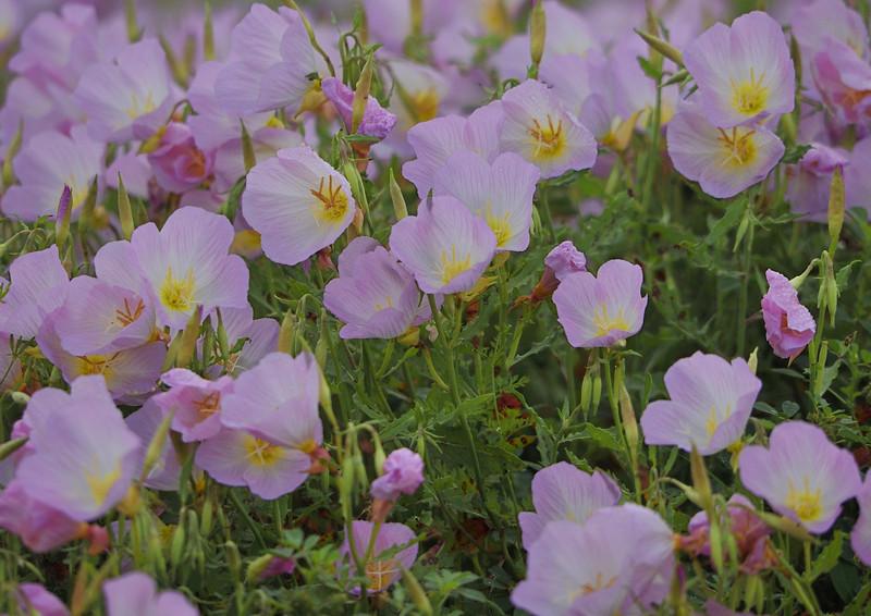 Showy Primrose Flowers
