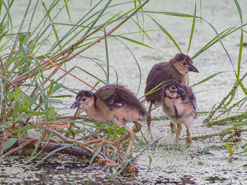 Purple Gallinules (Immature)