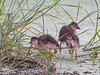 Purple Gallinules (Immature)