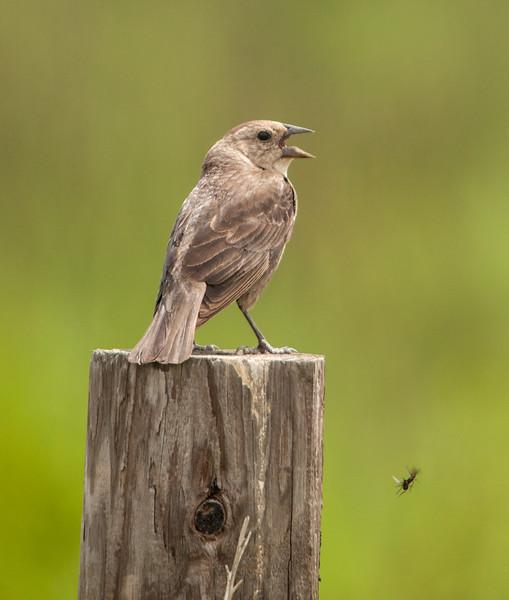 Brown-headed Cowbird (Female)