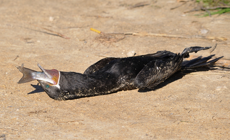 Neotropic Cormorant died while eating