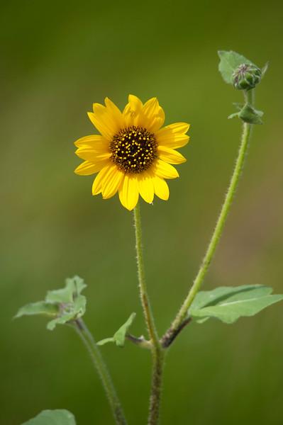 Common Sunflower