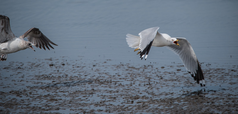 Immature Ring-billed Gull chasing an adult away from a dead fish.