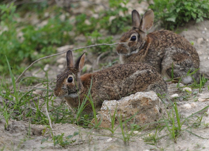 Eastern Cotton-tailed Rabbits