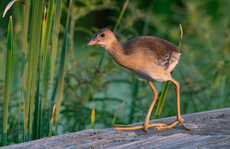 Purple Gallinule (Juvenile)