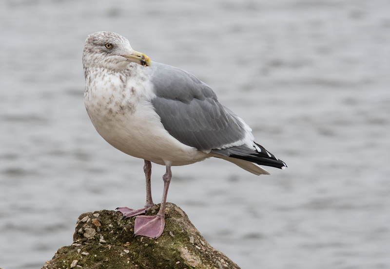 Herring Gull (Immature)