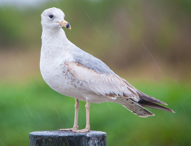 Ring-billed Gull (Immature)