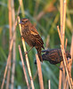Red-winged Blackbird (Immature Male)