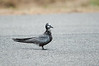 Black Tern (Transitioning into non-breeding plumage)