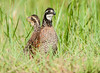 Northern Bobwhites (female and male)