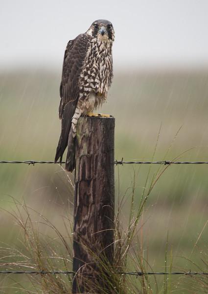 Peregrine Falcon during heavy rain