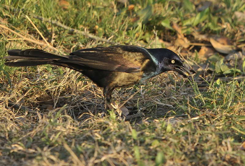 Common Grackle (Male)