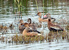 Fulvous Whisting Ducks and a Black-bellied Whistling Duck