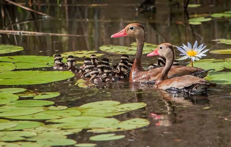 Black-belied Whistling Ducks