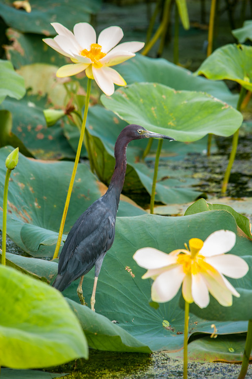 Little Blue Heron among Yellow Lotus plants