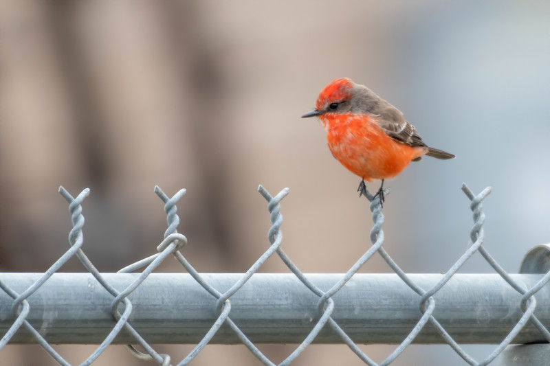 Vermilion Flycatcher (Immature Male)
