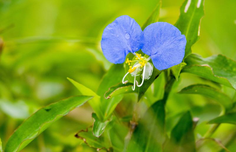 Slender Day Flower