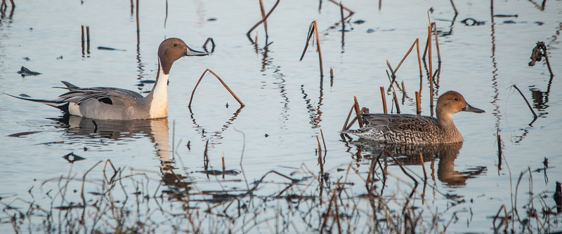 Northern Pintails (Male on Left and Female on Right)