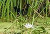 Purple Gallinules (Juveniles)