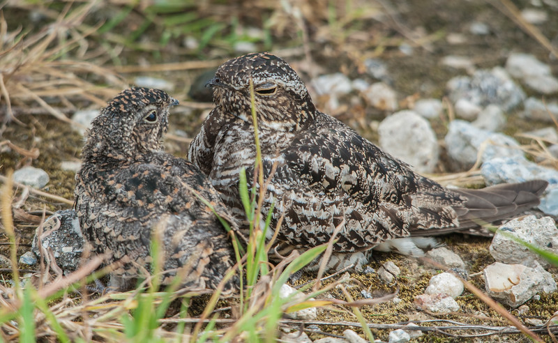 Common Nighthawks (Mother and Juvenile)