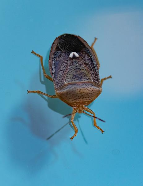 Rice Stinkbug