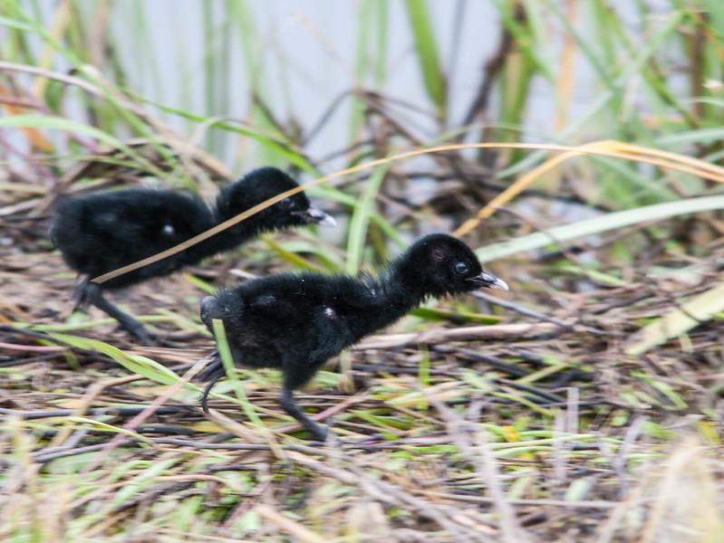 Clapper Rail Chicks