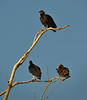 Black Vultures (top and bottom left) Turkey Vulture (bottom right)