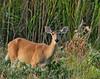White-tail Deer (Doe)