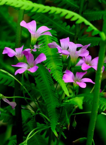 Violet Wood Sorrels