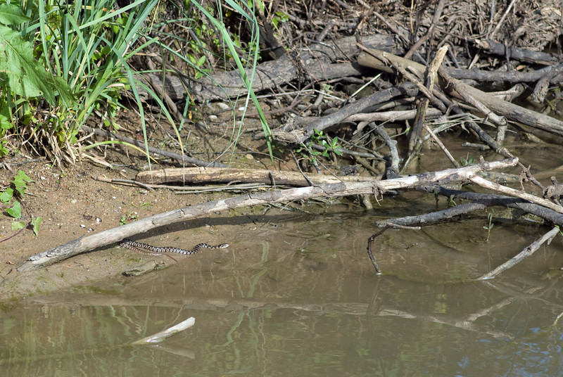 Blotched Watersnake (Juvenile)