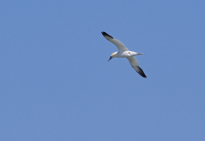 "This Northern Gannet was flying a fair distance from the beach and this was the best image I could get.  It is a ""life bird"" for me!  I hope to get a better picture someday."